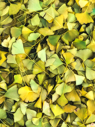 Gingko Tree 4