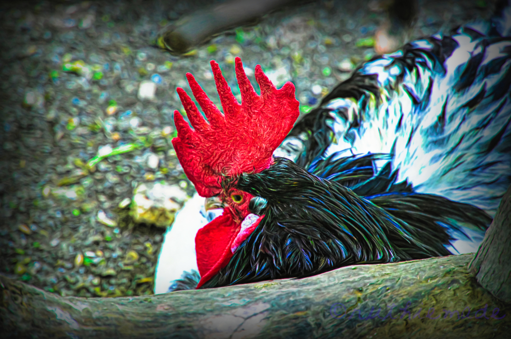 When the Rooster Crows...