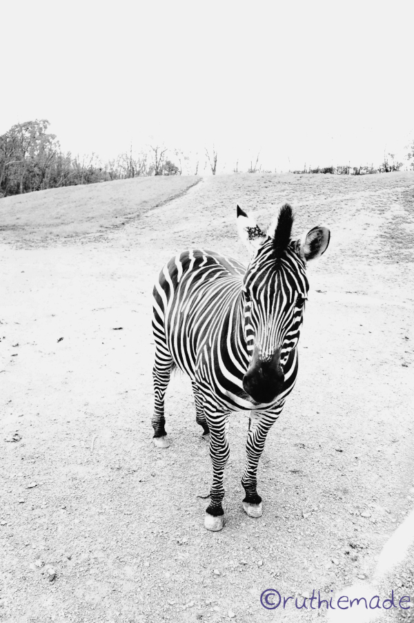 Zebra Contrast