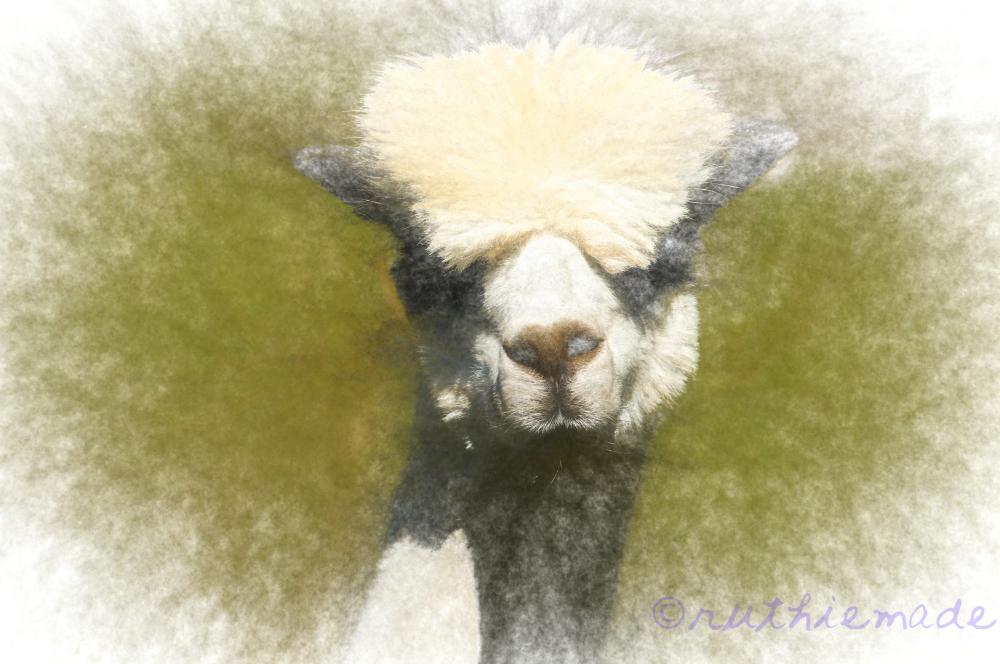 Alpaca Face