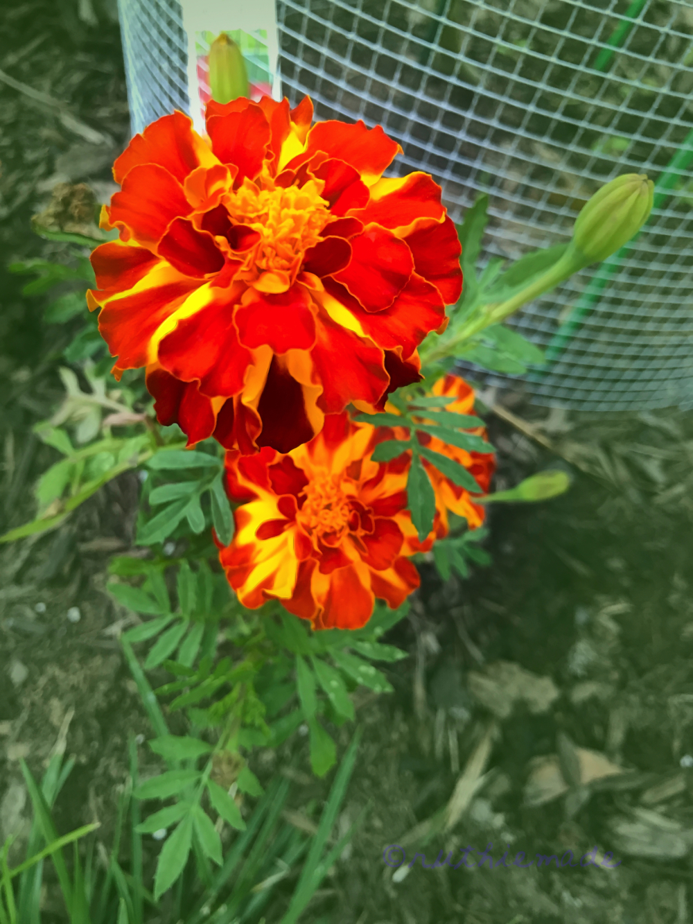 Marigold in June