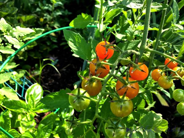 Bounty   from my garden July