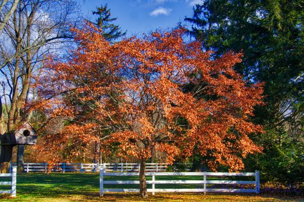 January Maple tree