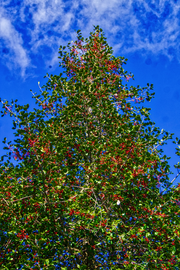 Holly Tree with berries