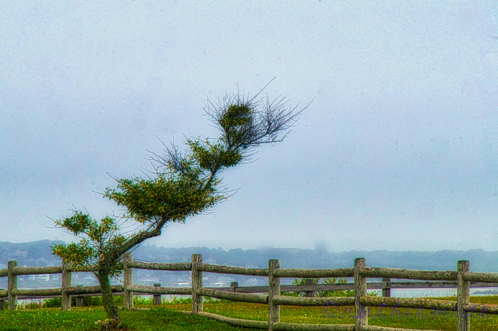 WIndswept Tree