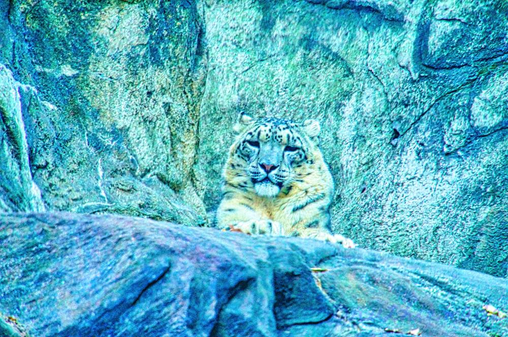 Papa Snow Leopard