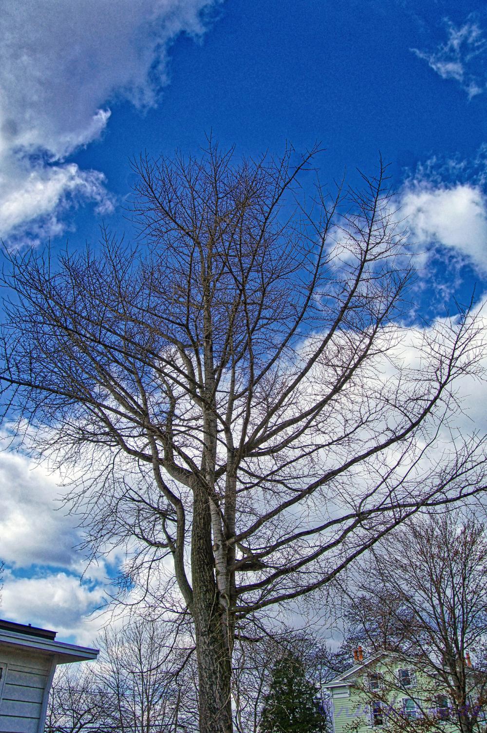 February Ginkgo Tree