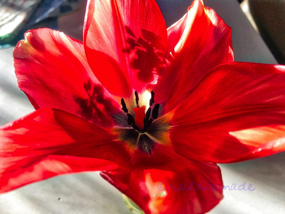 Tulip Shadows