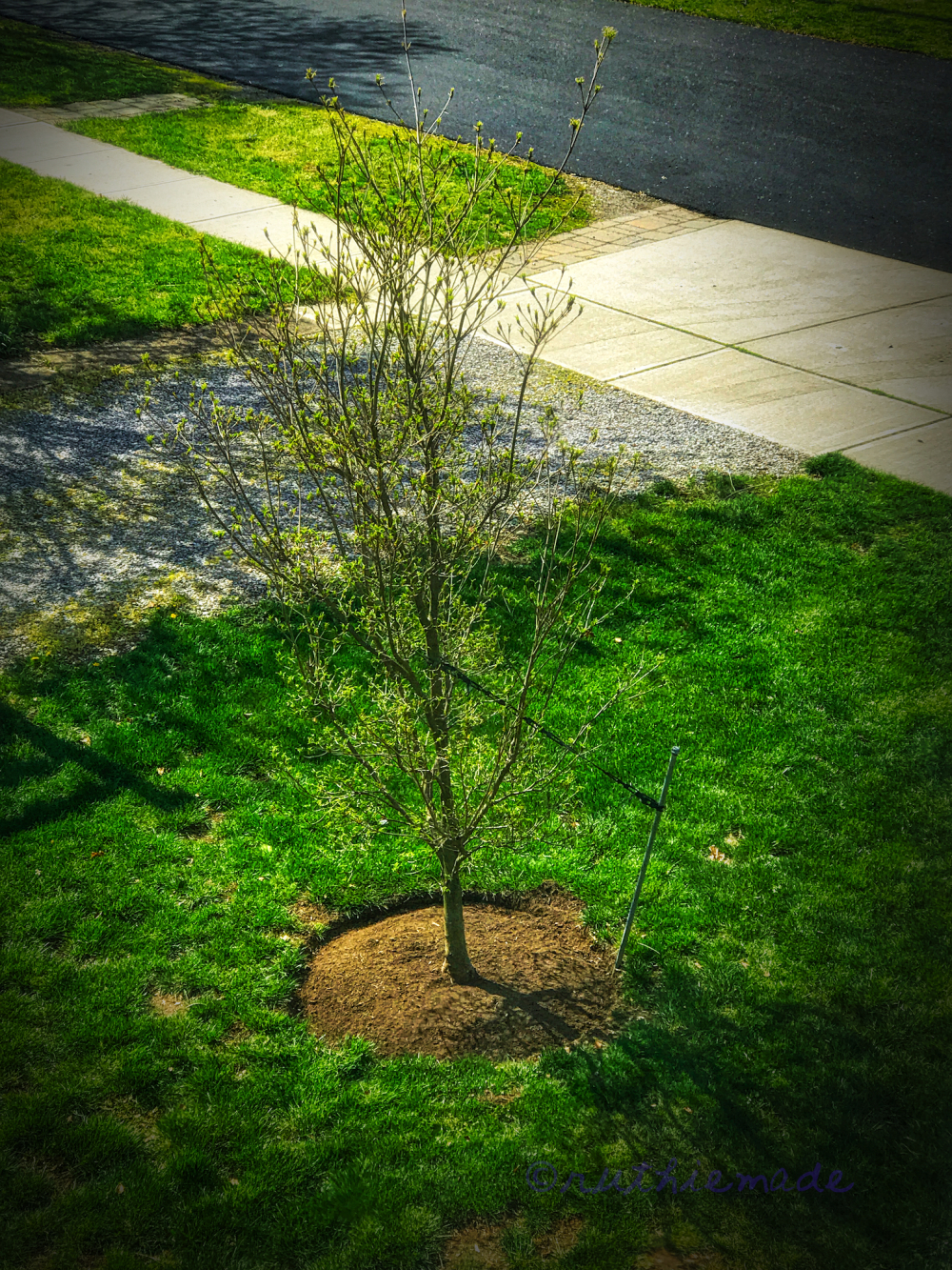 APril Dogwood tree