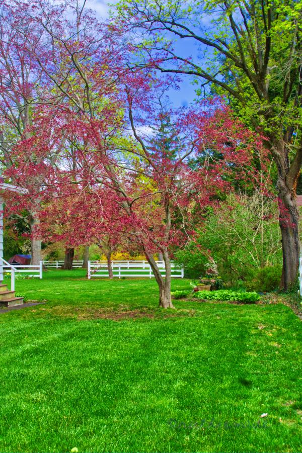 April Original Japanese Maple Tree