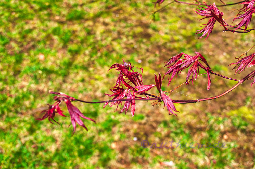 Original Japanese Maple Leaf SProuts