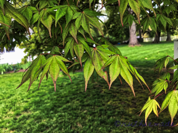 Japanese Maple Tree Leaves Green