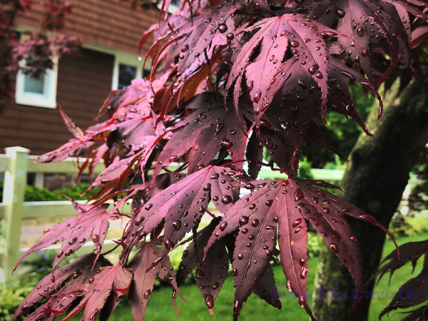 (Red) Japanese Maple leaves
