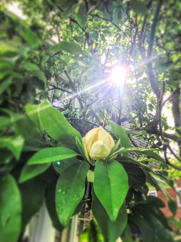 Sweet Bay Magnolia Bloom