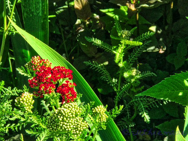 Red Yarrow Bouquet