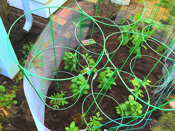 Tomato Plants early June