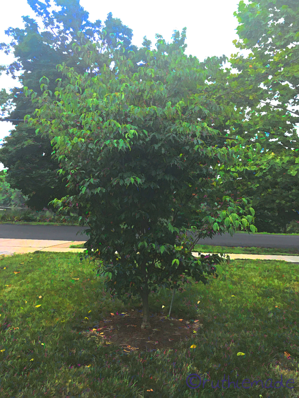 July Dogwood Tree