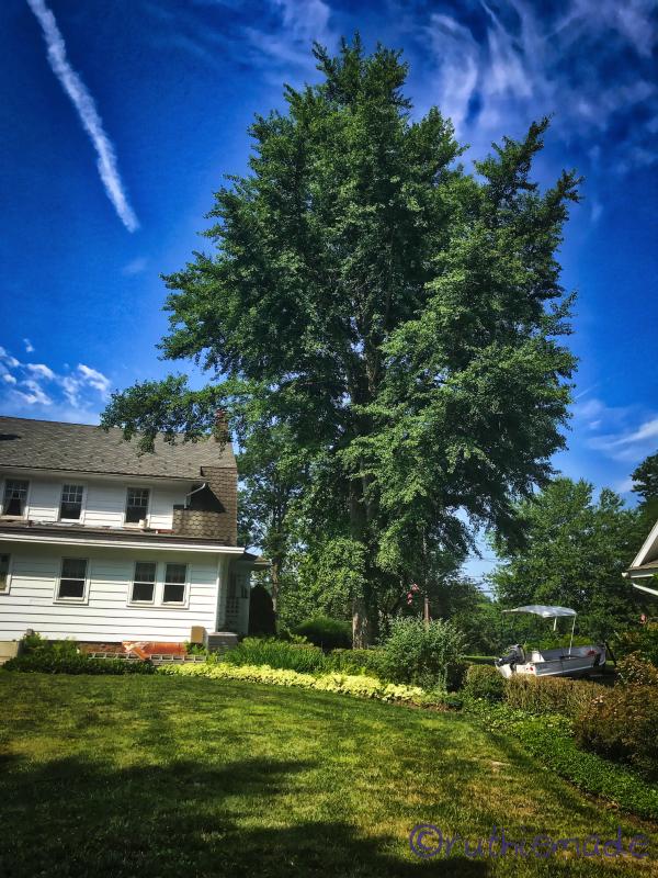 July Gingko Tree