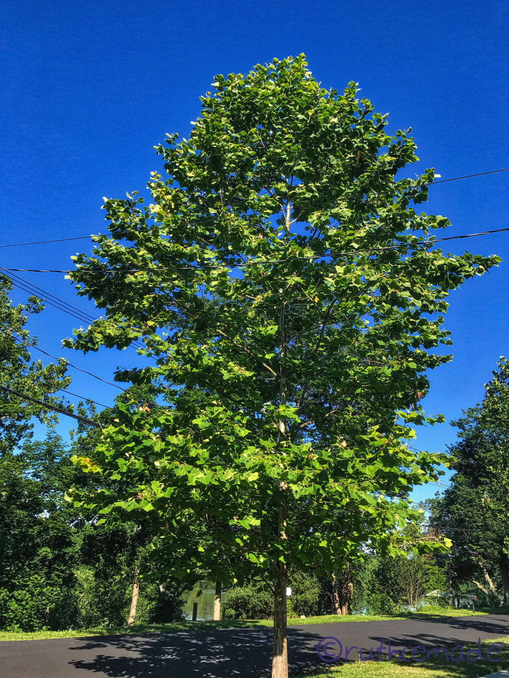 July SYcamore Tree