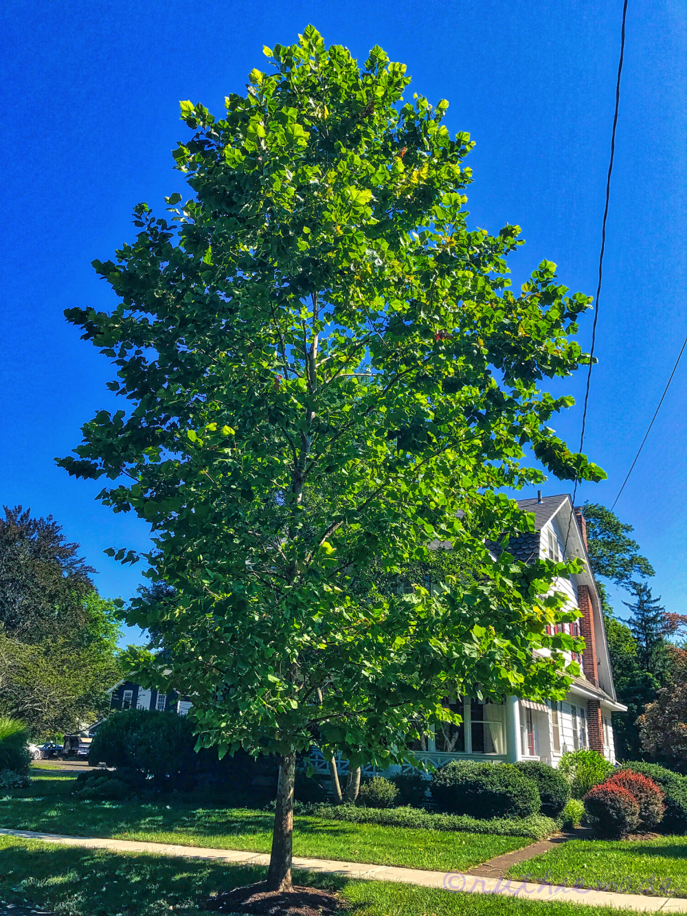 August Sycamore Tree