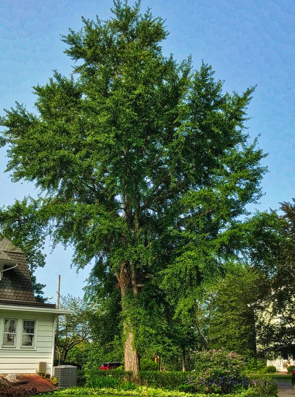 September Ginkgo Tree