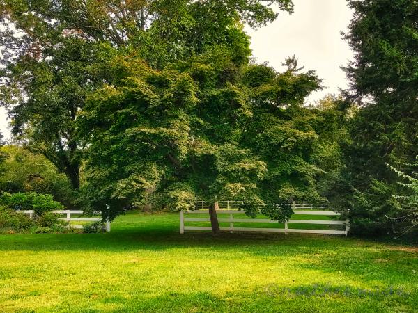 September Japanese Maple (green)