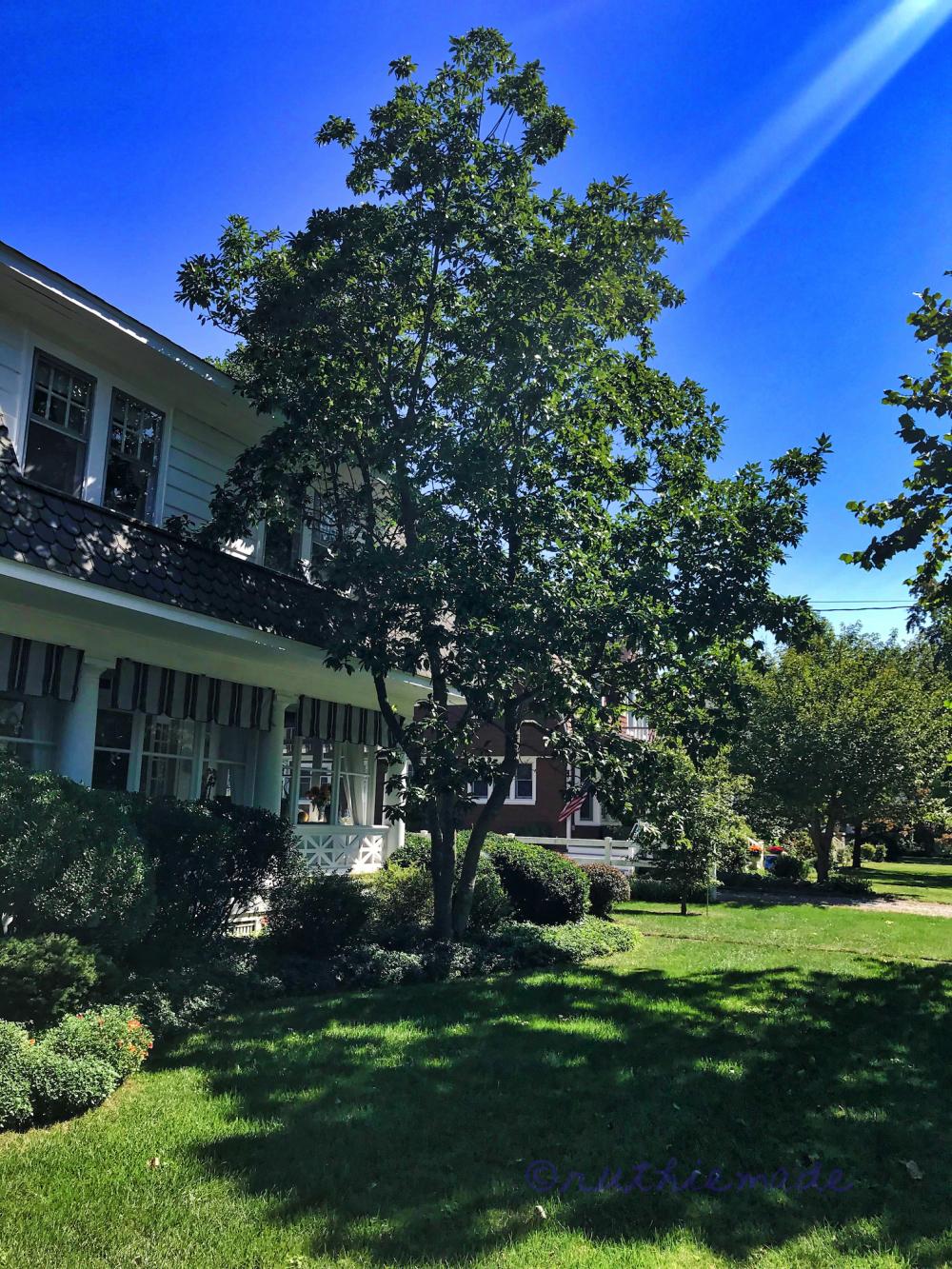September Sweet Bay Magnolia Tree