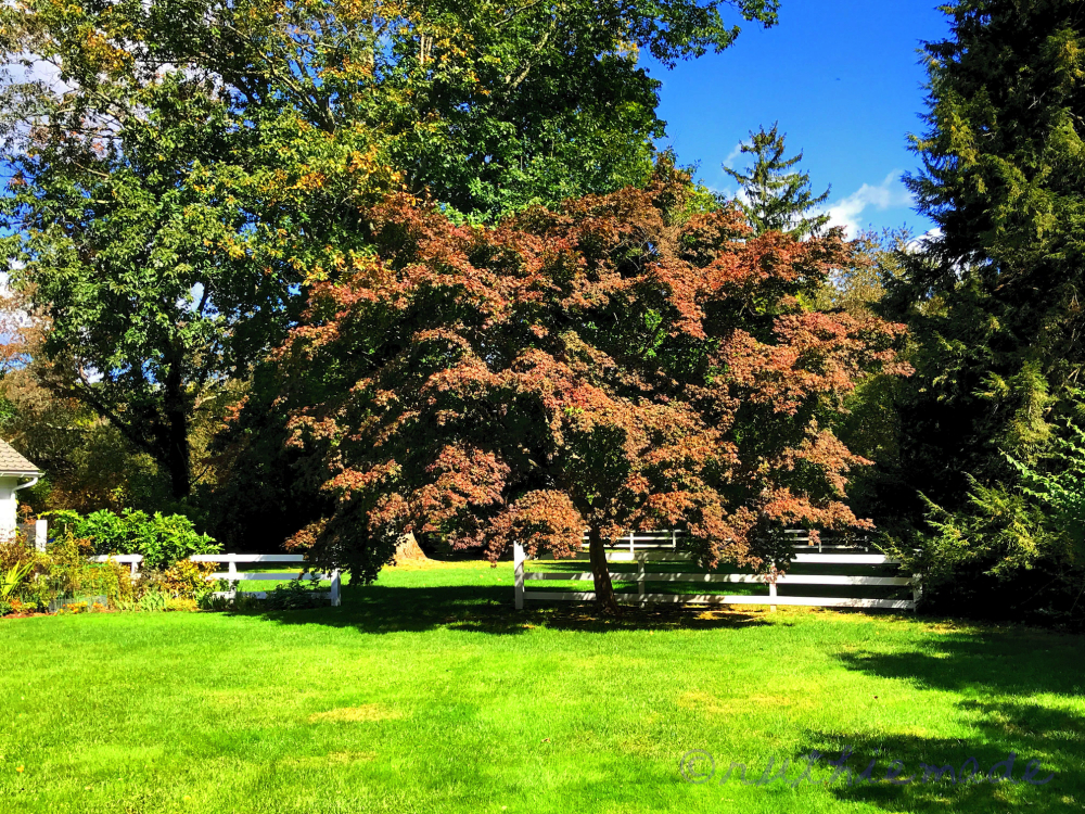 October Japanese Maple Tree (green)
