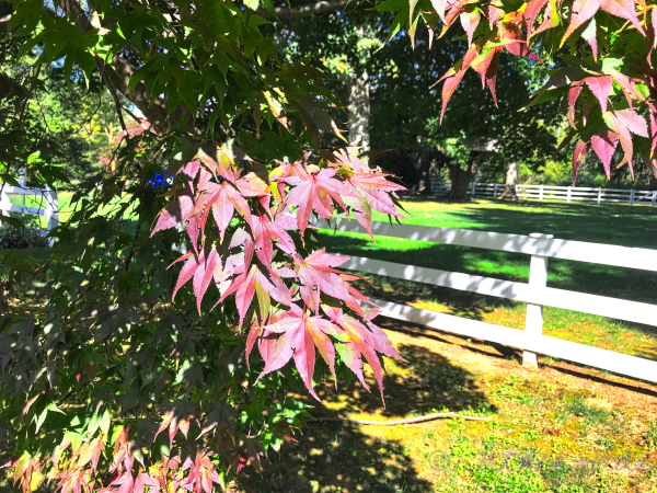 October Japanese Maple Leaves (green)