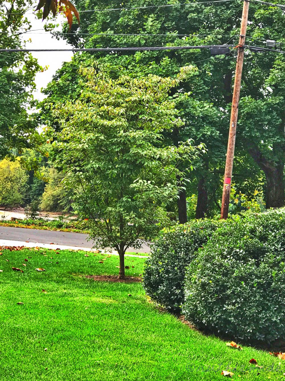 October Dogwood Tree