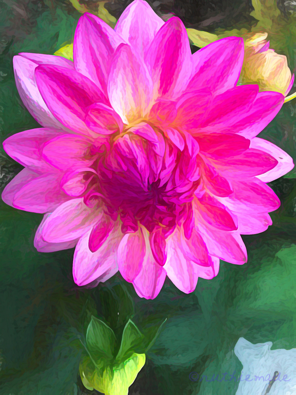 Late blooming Dahlia