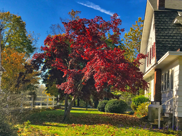 November Japanese Maple Tree (red)