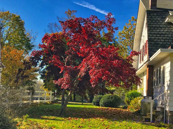 November Japanes Maple Tree (Red)