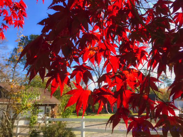 NOvember Japanese Maple Leaves (red)