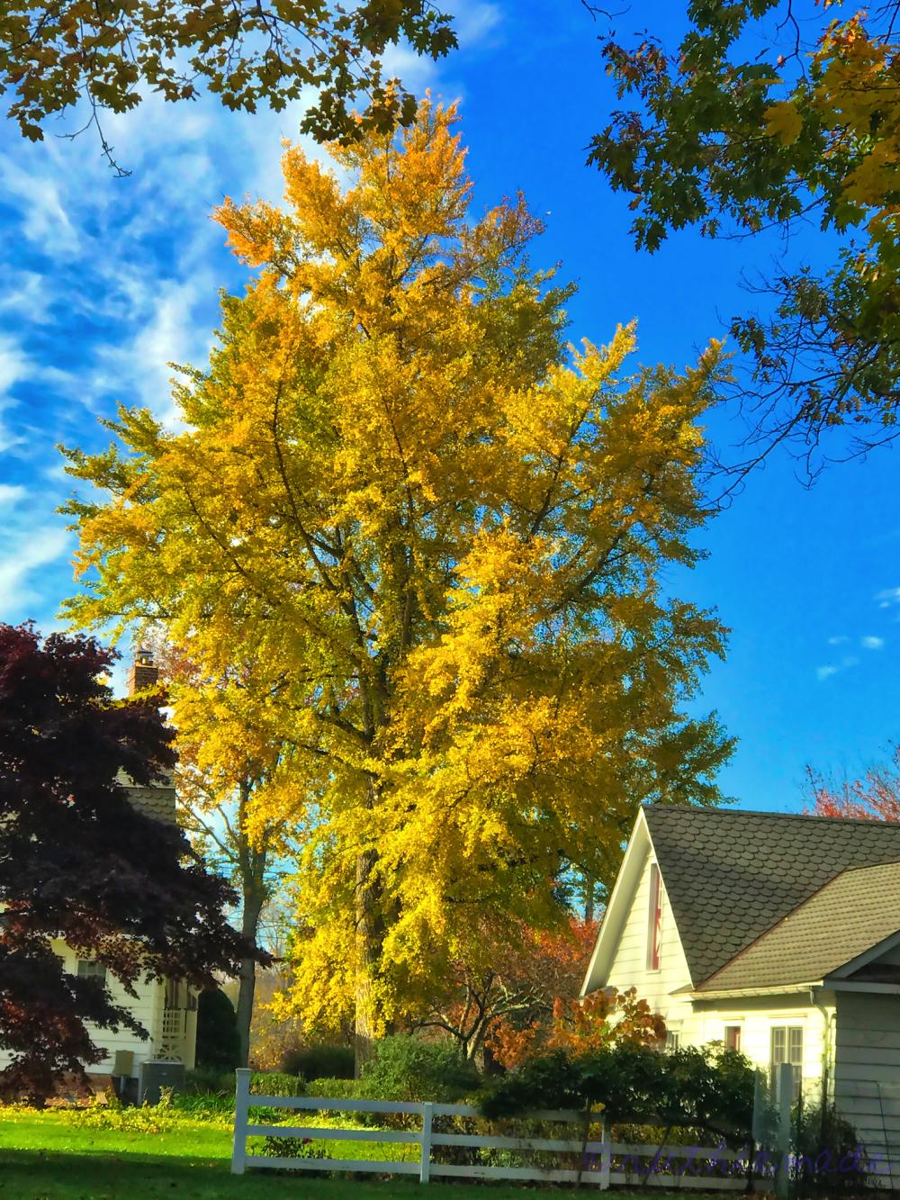 November Ginkgo Tree