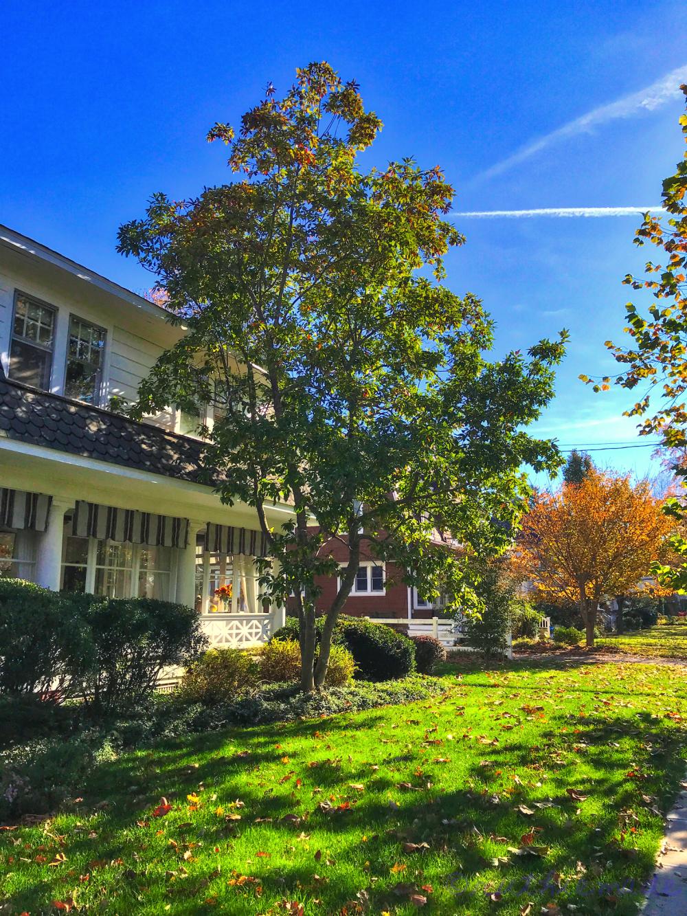 November Sweet Bay Magnolia Tree