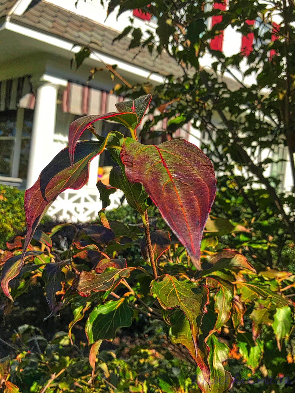 November Dogwood Tree Leaf
