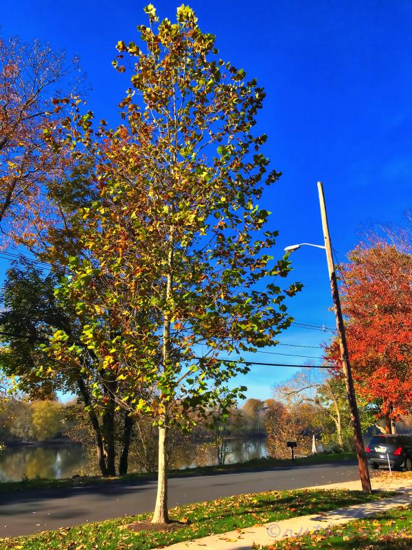 November Sycamore Tree