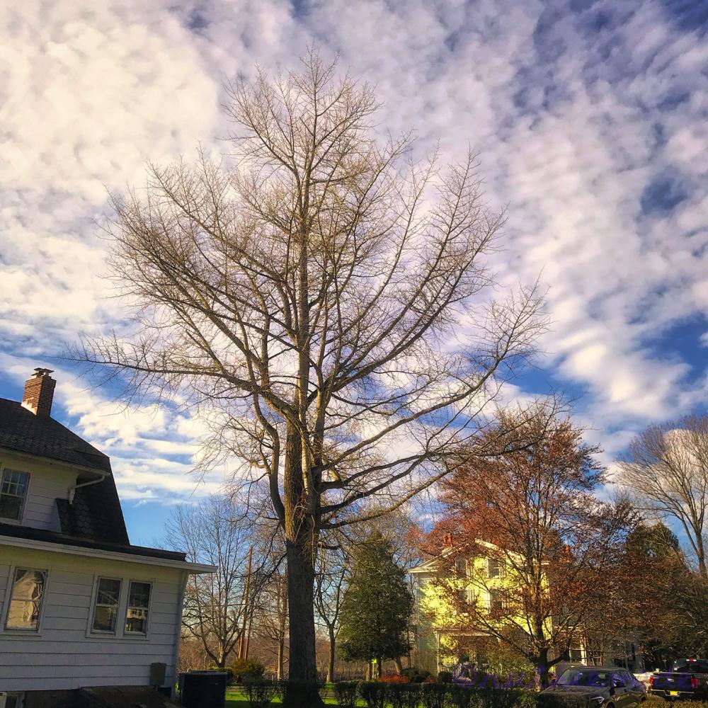 December Ginkgo Tree