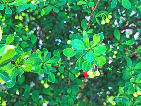 Plant with berries