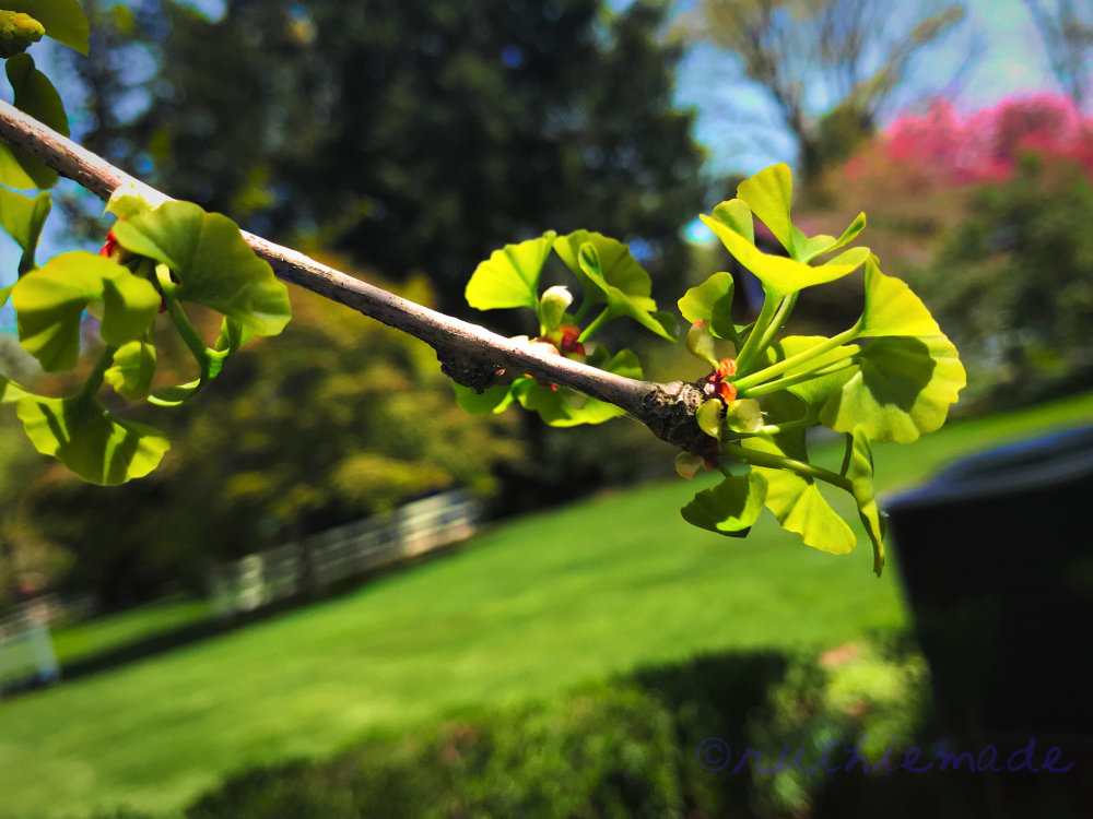 GInkgo sprouts