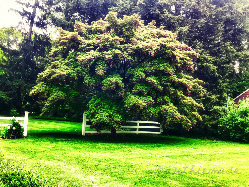 Japanese Maple Tree (green)