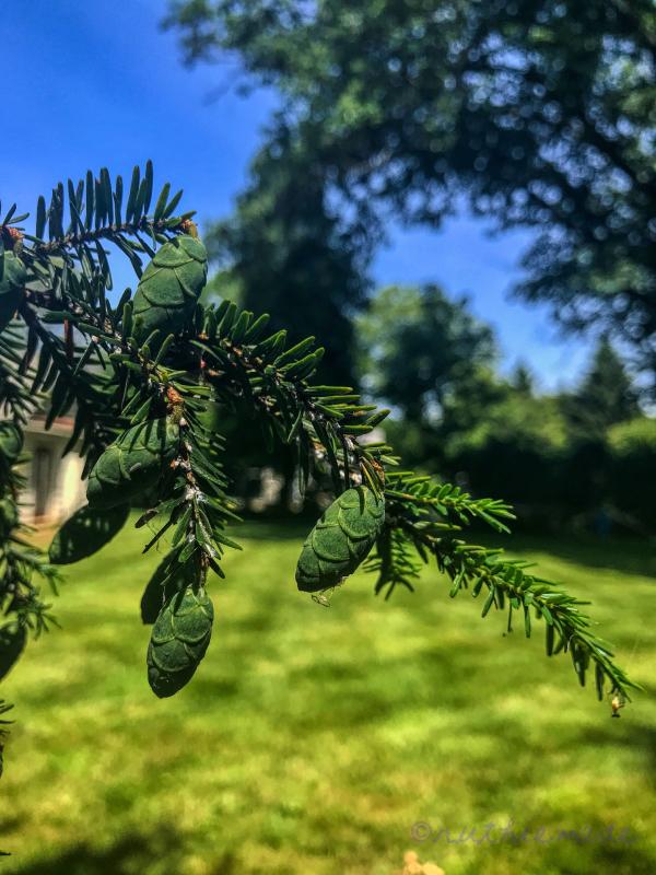Hemlock tree baby cones