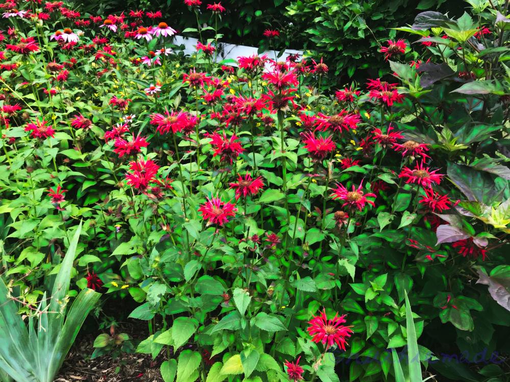 Bee Balm Garden