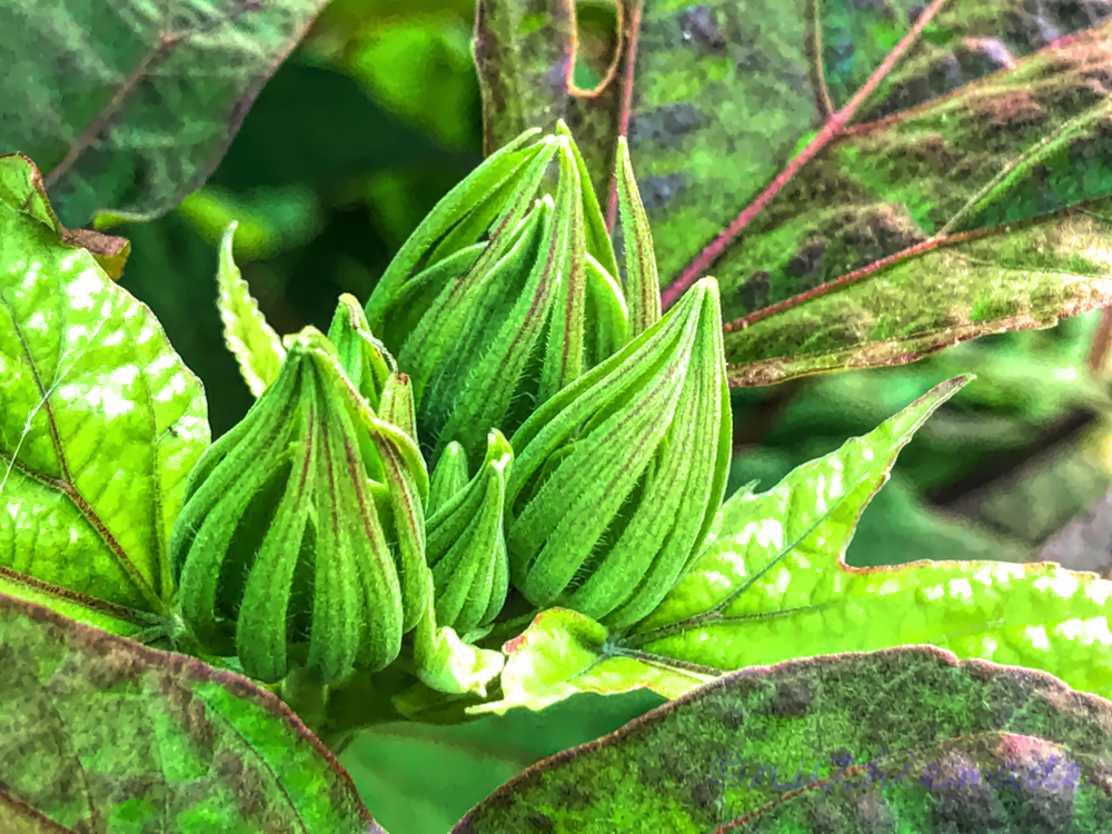 Hibiscus buds