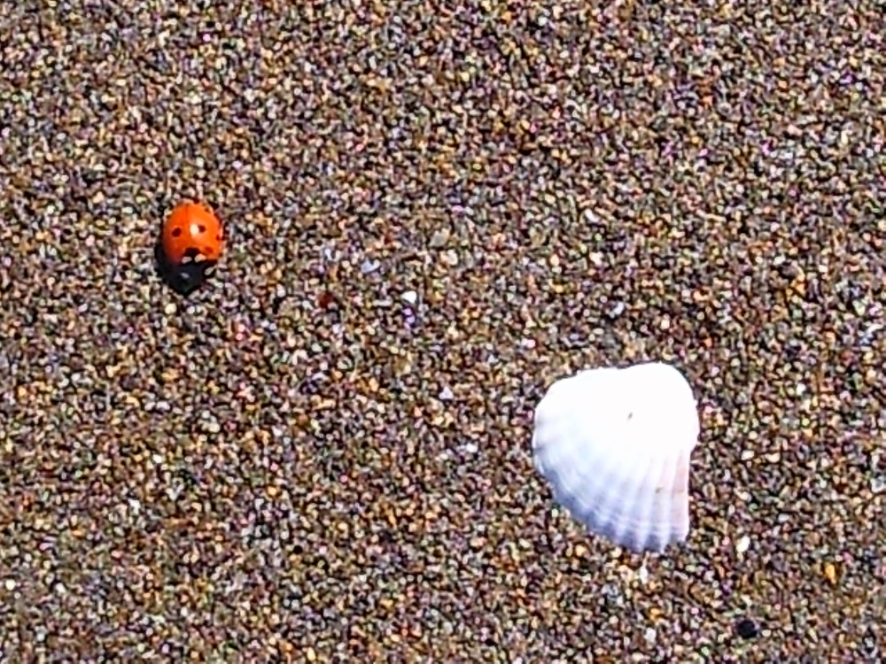 SHELL, Lady bird, Lady bug