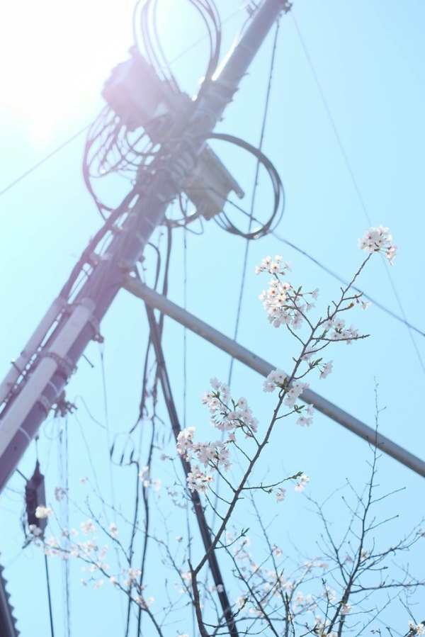 Spring Sakura 2