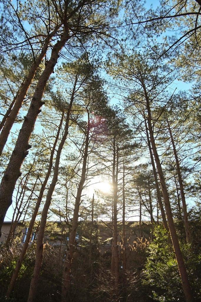 Tree sea fujisan 2