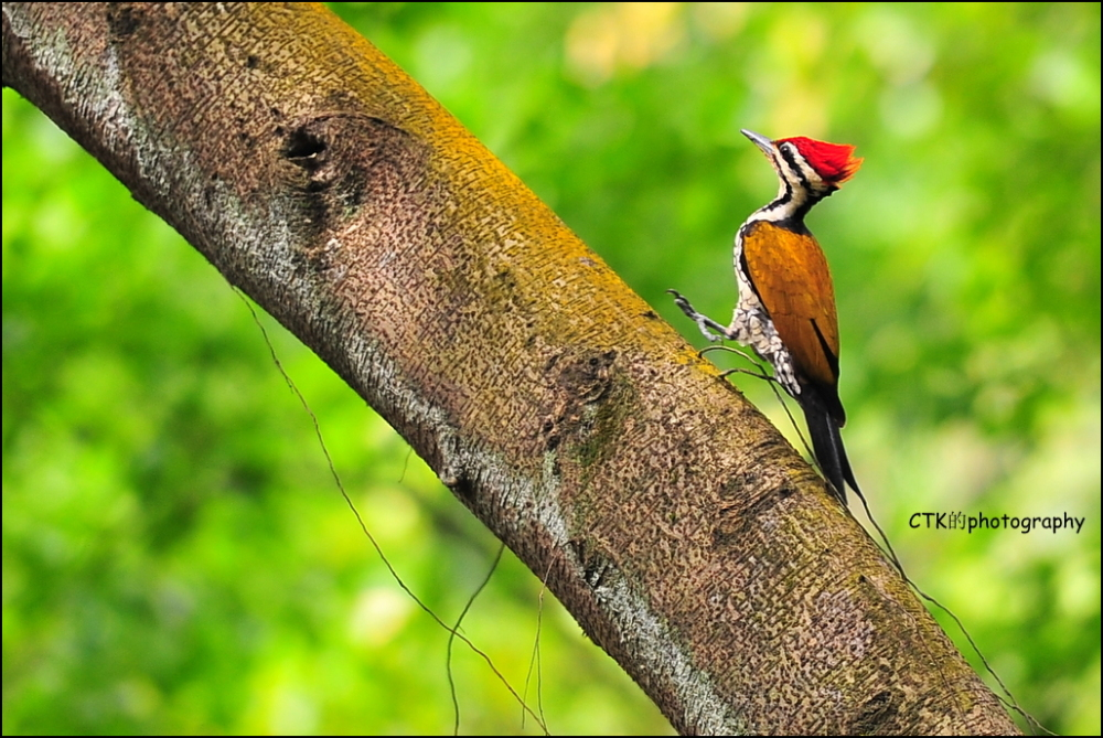 Golden Flameback woodpecker (Male)