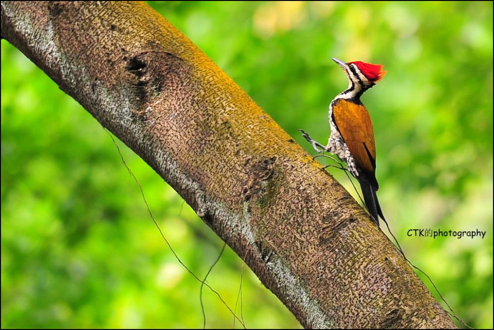Golden Flameback woodpecker (Male)